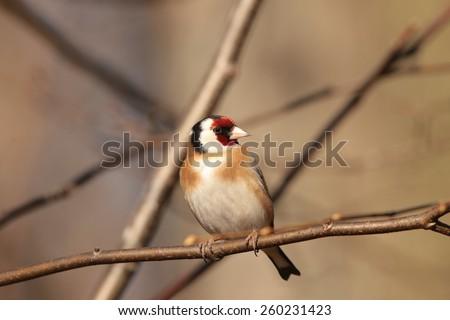 European goldfinch (Carduelis carduelis) on a twig. - stock photo