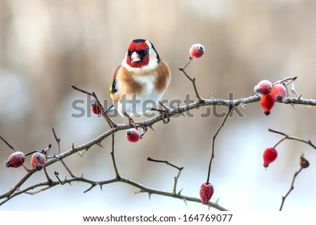 European Goldfinch with frozen red rose hips. - stock photo