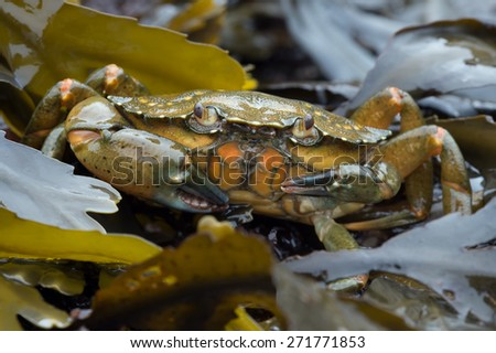 European Green Crab amongst Red and Green Seaweed/Crab/Green Shore Crab (carcinus maenus) - stock photo
