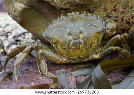 European Green Crab amongst red rock and green seaweed/Crab/Green Shore Crab (carcinus maenus) - stock photo