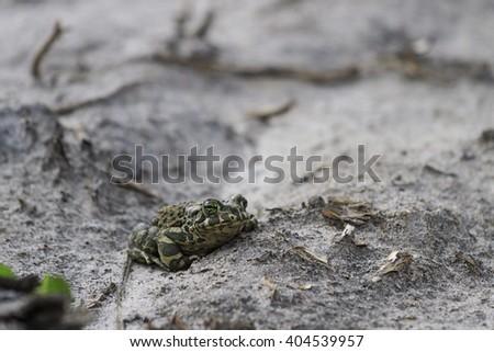 European green toad of gray soil,spring amphibians - stock photo