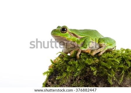 European green tree frog sitting on piece of moos isolated in front of white background - stock photo