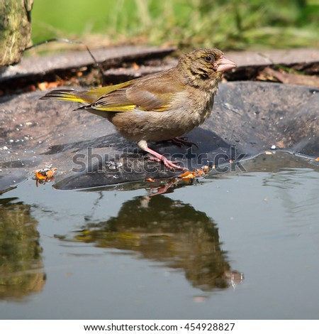 European Greenfinch, also known simply as Greenfinch perched on a bare stick, partially reflecting in the pond water - stock photo