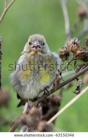 European Greenfinch, Carduelis chloris. Wild bird in a natural habitat. Wildlife Photography. Russia, Moscow, Timirjazevsky park. - stock photo