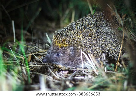 European hedgehog in natural habitat at night - stock photo