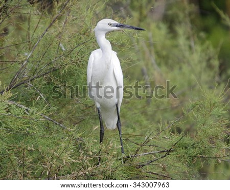 European heron in the nature.Egretta garzetta - stock photo