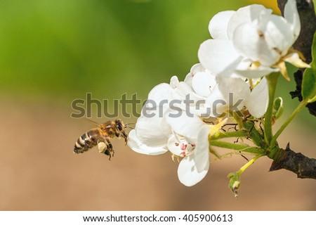 European honey bee( Apis mellifera) flying to a pear tree flower - stock photo