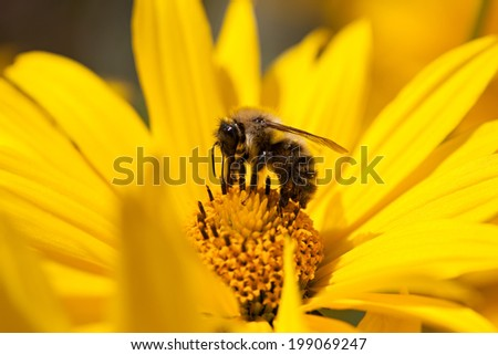 European honey bee (Apis mellifera) gathering pollen - stock photo