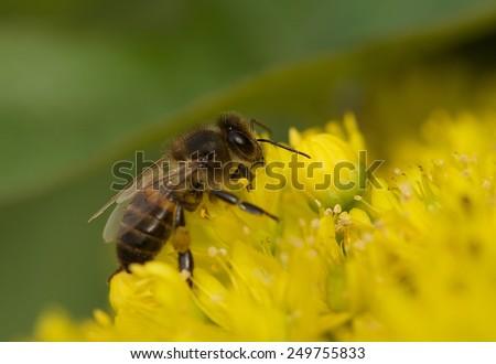 European honey bee (Apis mellifera) gathering pollen, Honey Bee harvesting pollen from yellow Blossom, honeybee, honey bee - stock photo