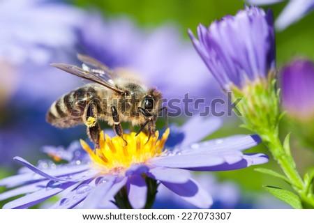 European honey bee( Apis mellifera) on aster flower - stock photo