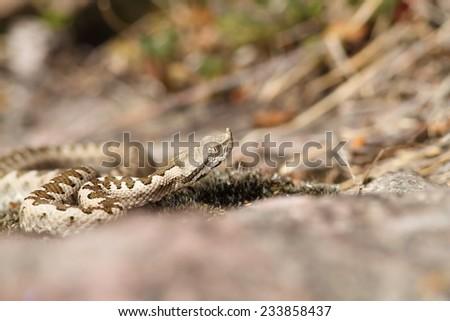 european horned viper ( Vipera ammodytes ), wild young specimen photographed in Romania - stock photo