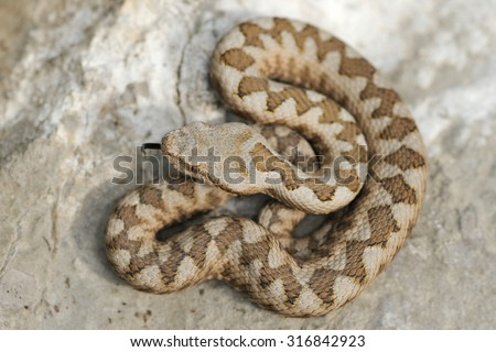 European horned viper (Vipera ammodytes) Young specimen - stock photo