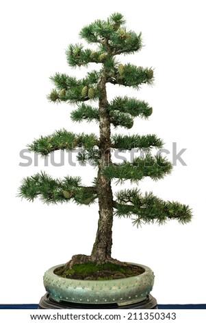European larch (Larix decidua) as bonsai tree - stock photo