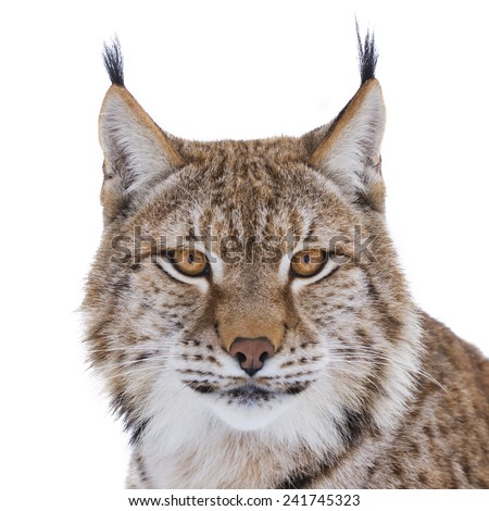 European lynx portrait on white - stock photo