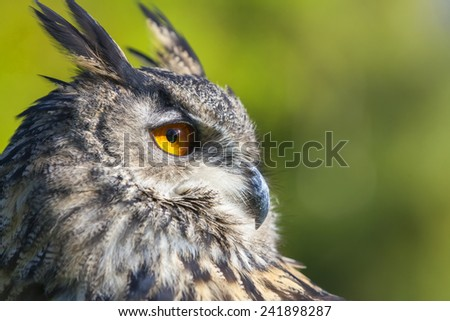 European or Eurasian Eagle Owl, Bubo Bubo, with big orange eyes and a natural green background - stock photo