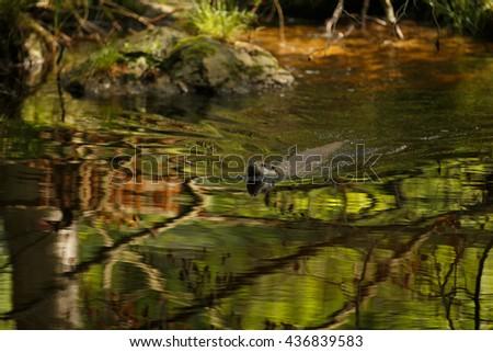 European Otter (Lutra ultra). Otter swimming. - stock photo
