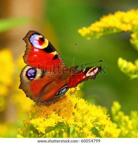 European Peacock butterfly (Inachis io) on a yellow flower - stock photo