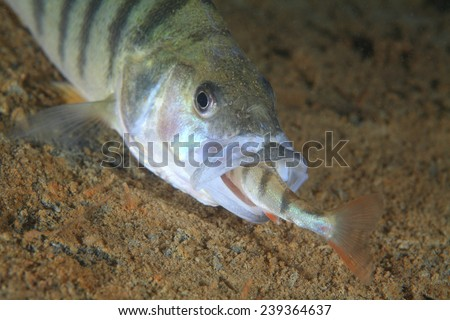 European perch fish (Perca fluviatilis) eats a little fellows - stock photo