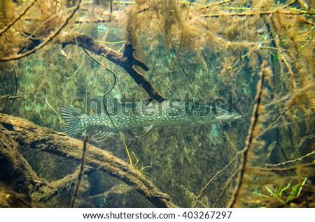European pike hidden in underwater bushes - stock photo