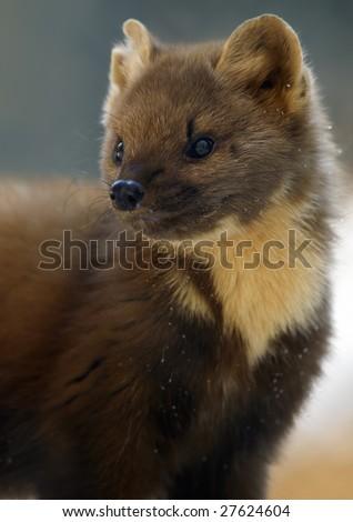 European Pine Marten (Martes martes) - stock photo