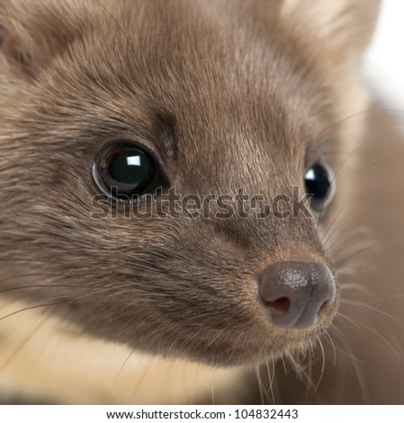 European Pine Marten or pine marten, Martes martes, 4 years old, close-up - stock photo