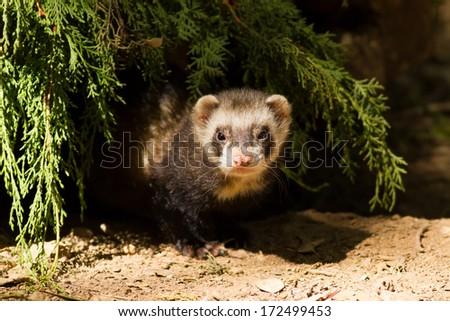 European Polecat (Mustela putorius) - stock photo
