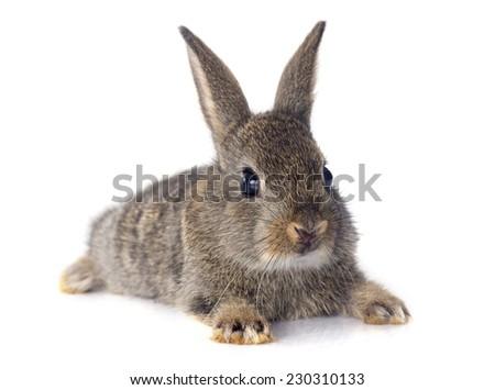 European rabbit in front of white background - stock photo