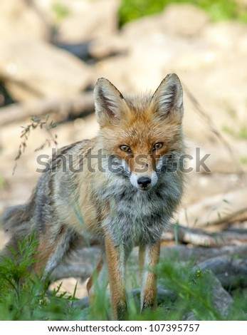 European red fox - Vulpes vulpes - stock photo