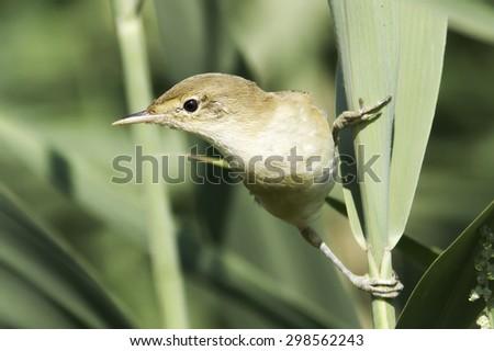 European Reed Warbler in natural habitat Acrocephalus Scirpaceus - stock photo