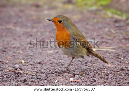 european robin - stock photo