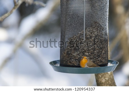 European Robin at a bird feeding in the garden - stock photo
