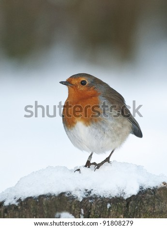 European robin (Erithacus rubecula) in snow - stock photo