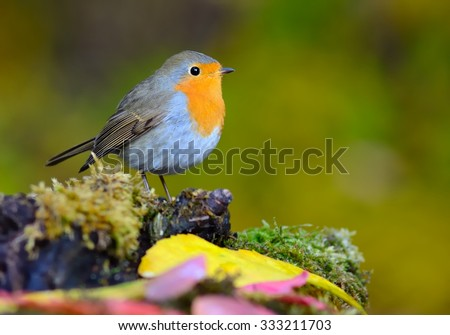 European robin (Erithacus rubecula) on the moss - stock photo