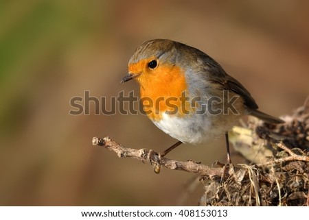European Robin - Erithacus rubecula sitting on the branch, perching - stock photo
