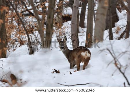 European roe deer, Capreolus capreolus - stock photo