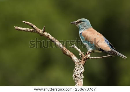 European Roller - stock photo