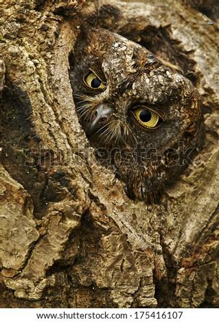 European Scops Owl (Otus scops) - stock photo