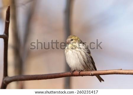 European Serin (Serinus serinus) on a twig. - stock photo