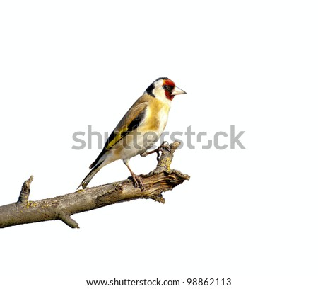 European songbird on a branch, against a white background - stock photo