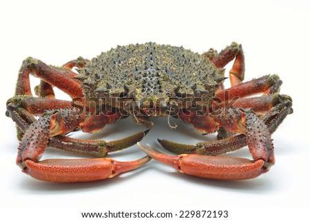 European spider crab, spiny spider crab or spinous spider crab. Maja squinado isolated in white background - stock photo