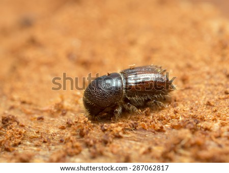 European spruce bark beetle, Ips typographus on wood photographed with high magnification - stock photo
