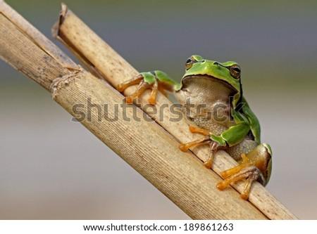 European tree frog - [Hyla arborea] - stock photo