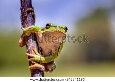 European tree frog (Hyla arborea) climbing in a tree and looking in the camera - stock photo