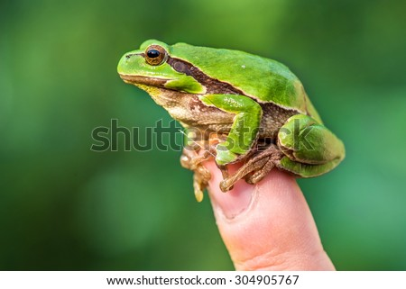 European tree frog on a finger - stock photo