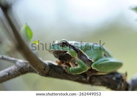 European tree frog on branch - stock photo