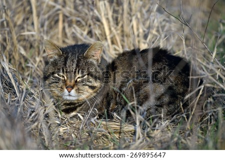European Wildcat on field in spring - stock photo