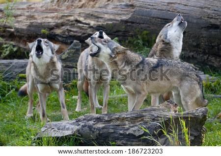European wolf (Canis lupus)  - stock photo