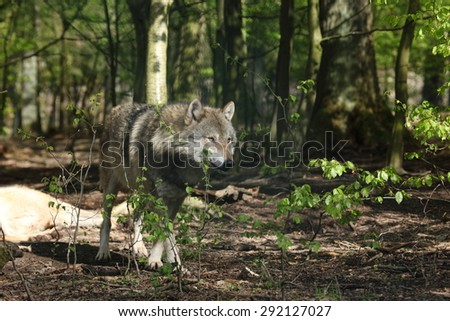 European Wolves in the Forest - stock photo