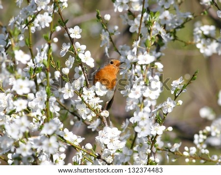 Europian robin, perched in white blossoming tree - stock photo
