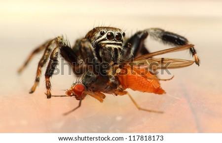 Evarcha arcuata jumping spider feeding drosophila fly - stock photo